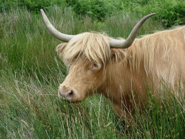 Highland cattle on Eaglestone Flat