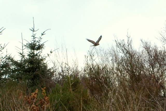 A buzzard flies from a small wood just north of Whigstreet