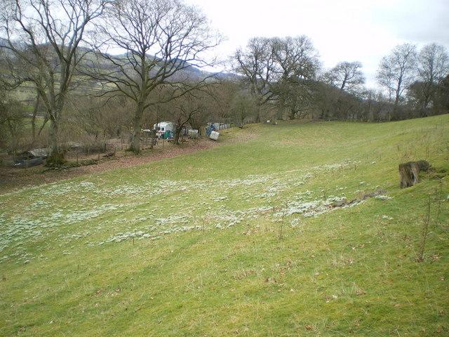 A field of snowdrops