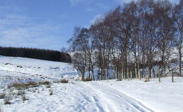 Birches on the right of way to Glenesk