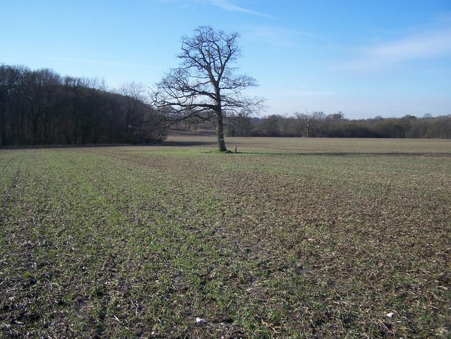 Tree in field near Snarkhurst Wood is junction of five paths