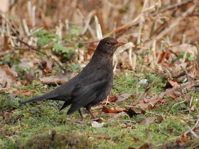 Blackbirds at Blashford Lake