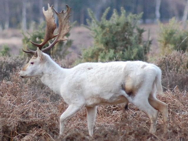 White Fallow Deer, Bolderwood