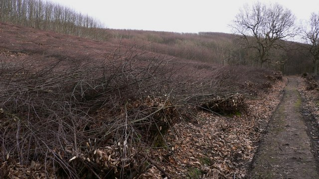 Recently coppiced area in Greenhill Wood