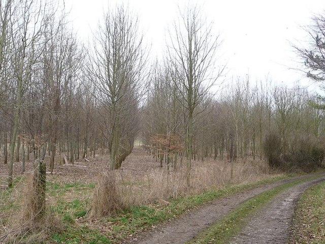 Long Crichel: lines of trees