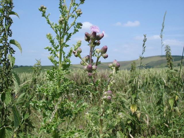 Creeping Thistle - Cirsium arvense