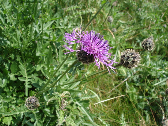 Greater Knapweed - Centaurea scabiosa