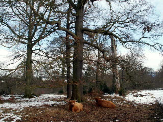 Menagerie Wood With Highland Cattle