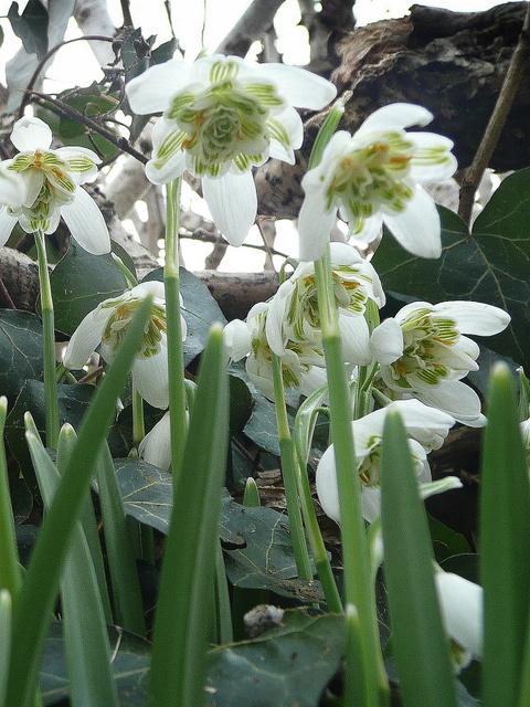Galanthus nivalis f. pleniflorus 4