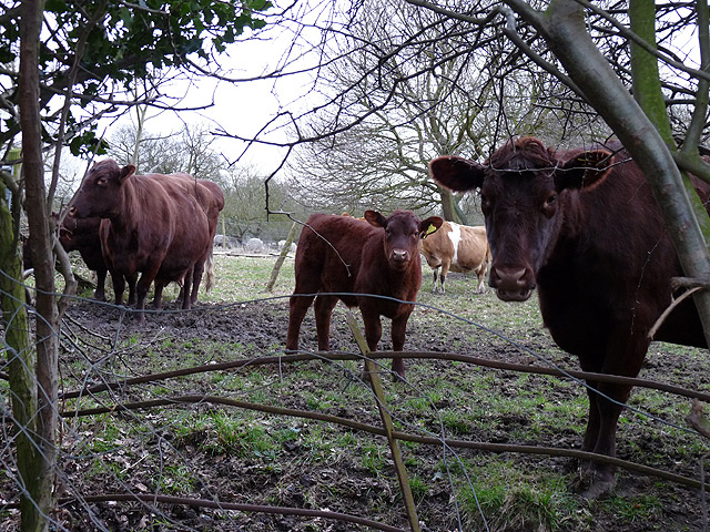 Traditional Suffolk cows: Red Polls