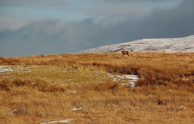 Red Deer Stag On The Moor