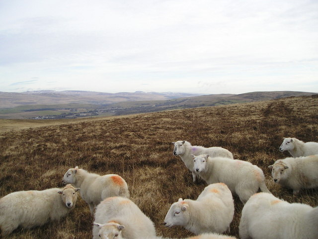 Sheep and Moorland