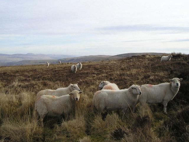 Sheep on Rough Grazing