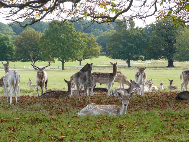 Fallow Deer in Richmond Park