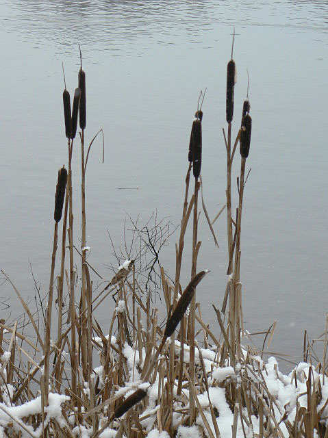 Reedmace at Colwick