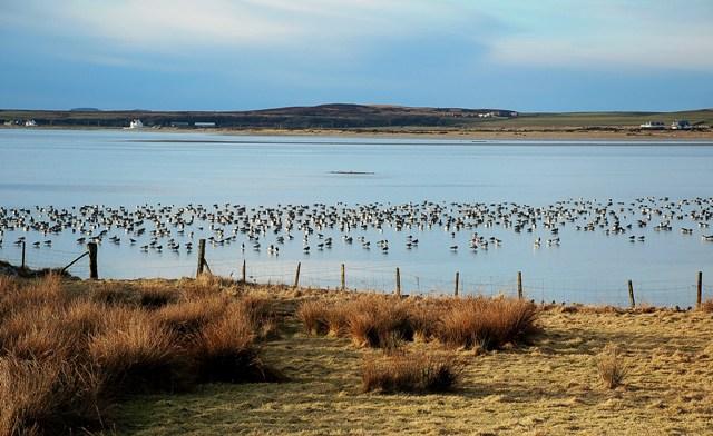 Barnacle Geese At Pennycraig