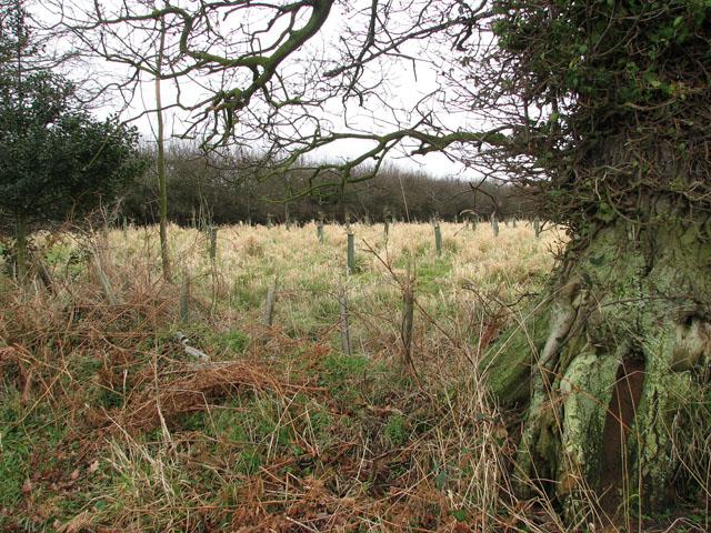Gnarled old oak