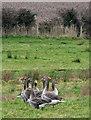 TG2430 : Greylag geese (Anser anser) : Week 7