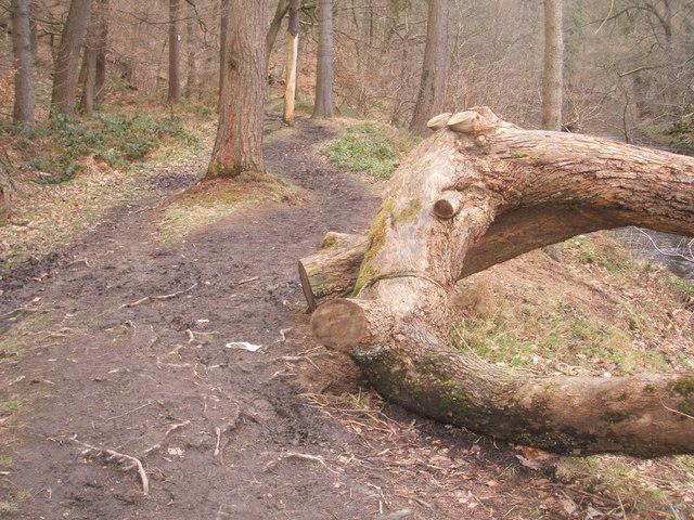 Felled tree trunk