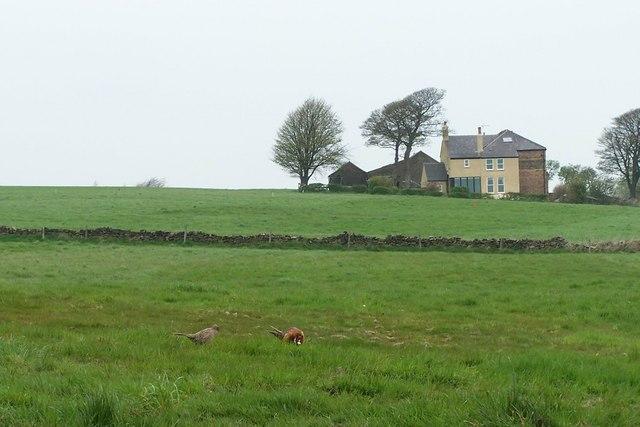 Pheasants in a Field, Stubbing Lane, near Worrall