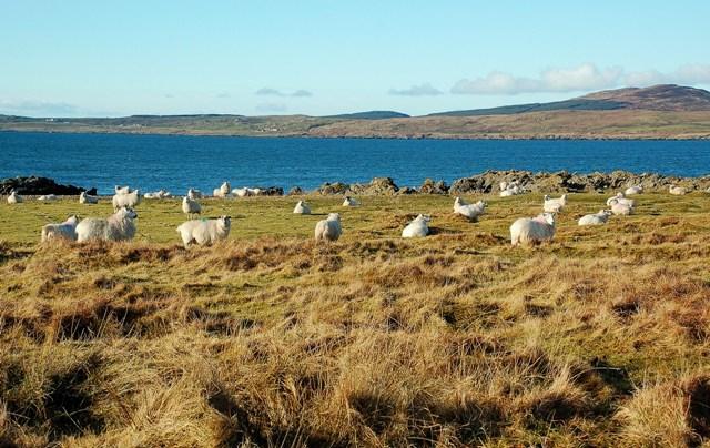 Sheep On Rubha Buidhe