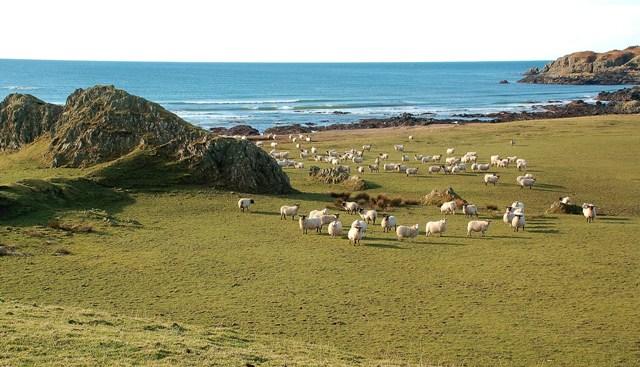 Sheep At Laggan Farm