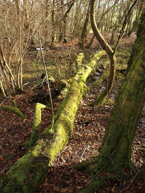 Fallen tree, woods below Little Haldon