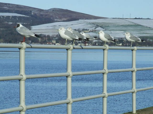 Gulls on a fence