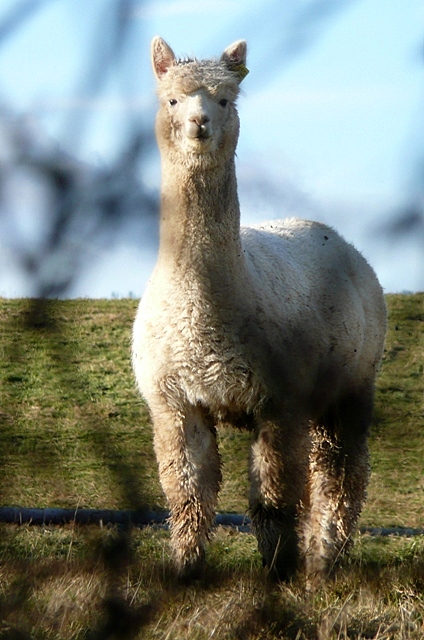 Alpaca at Goring Heath