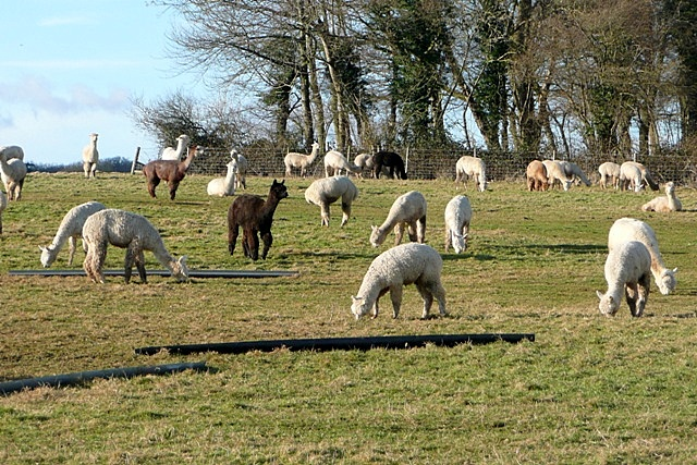 Alpacas at Goring Heath