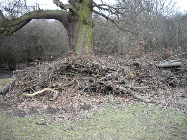 Pruning waste under old oak at edge of Collin's Coppice