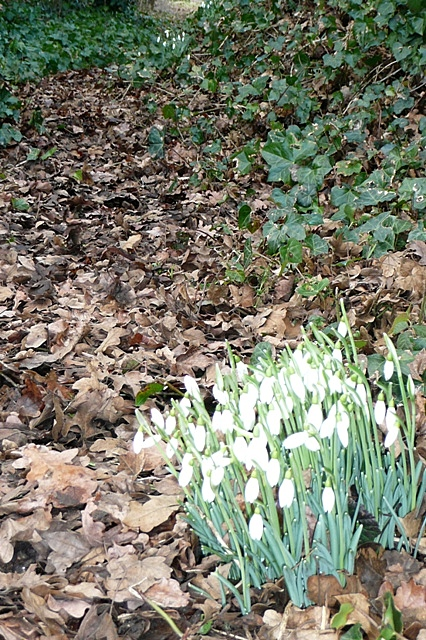 Snowdrops at Ladygrove Farm