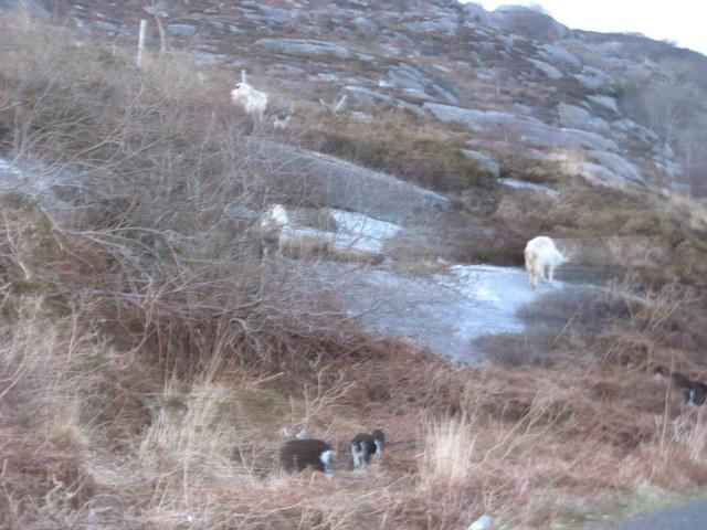"""""""Wild"""" goats at Lough Caragh"""