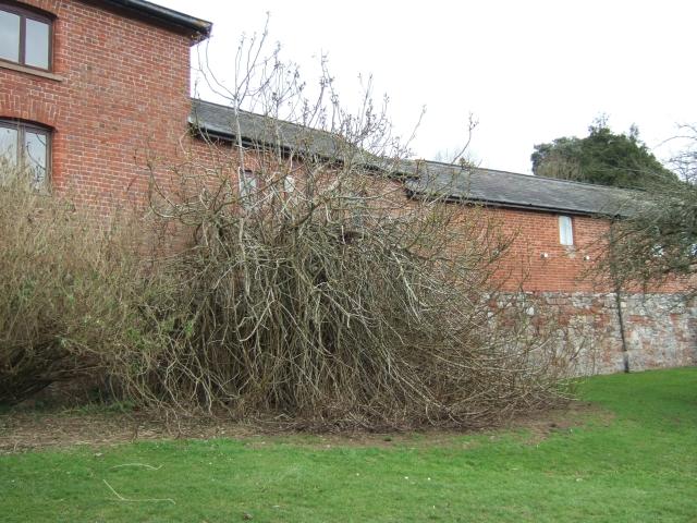 Fig tree by Higher Hoopern Farm, Exeter