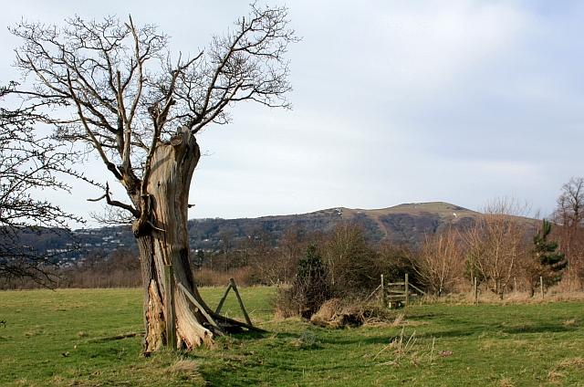 Oak still alive - just