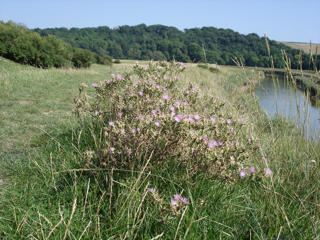 Red Star-thistle - Centaurea calcitrapa - growing by the Cuckmere River