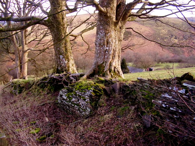 Sycamore trees on a boundary bank