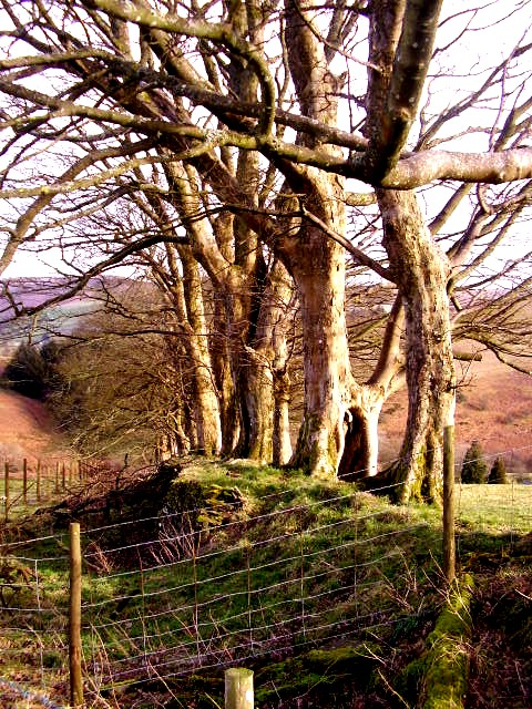 Sycamore trees on a boundary bank 2