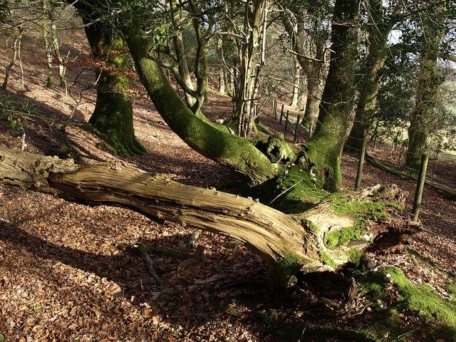 Trees, access land, Little Haldon