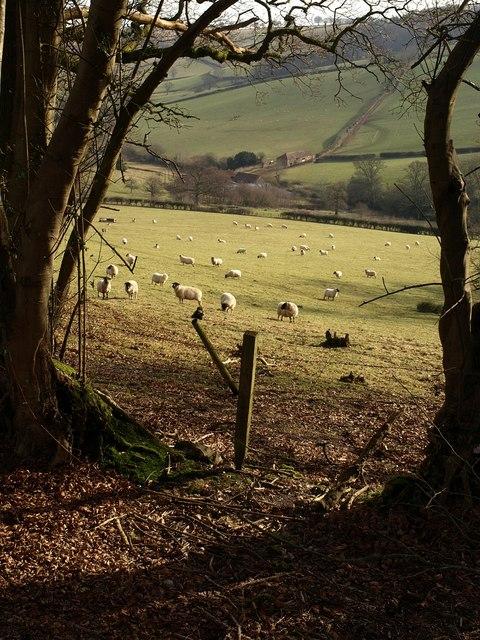 Sheep above Lidwell Farm