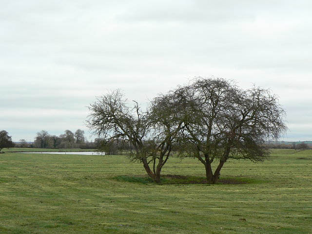 Trees near the Trent