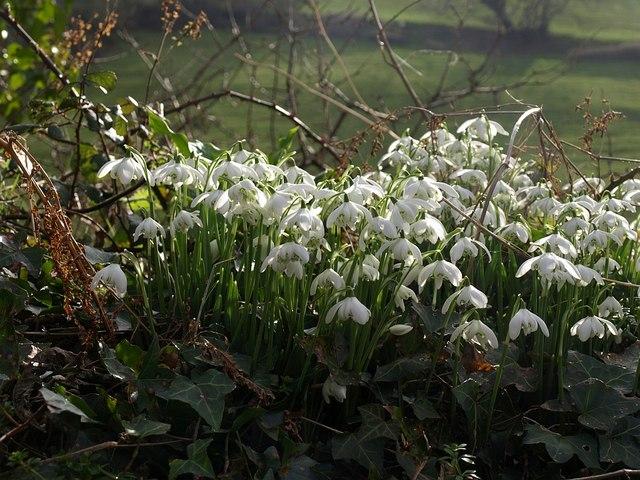 Snowdrops, Brownstone
