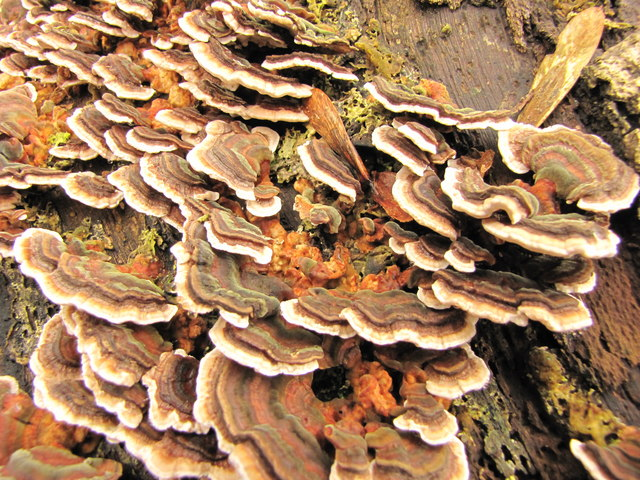 Bracket Fungus (Many-Zoned Polypore)