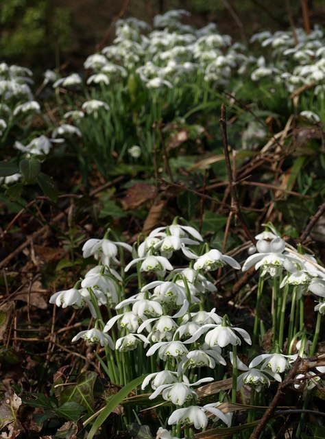 Snowdrops, Brownstone