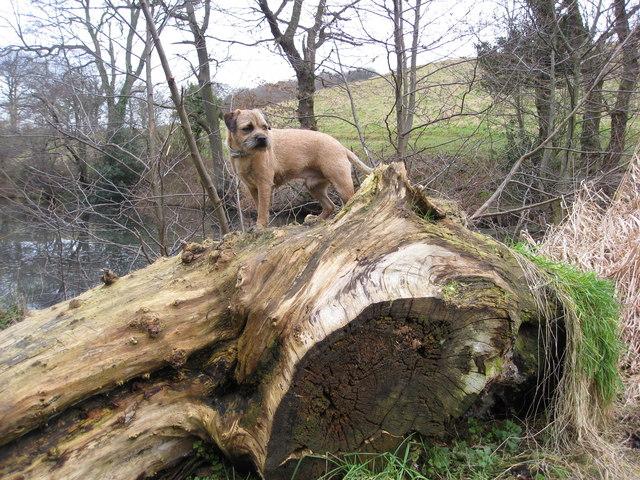Neverfear Dam - Dog on a Log
