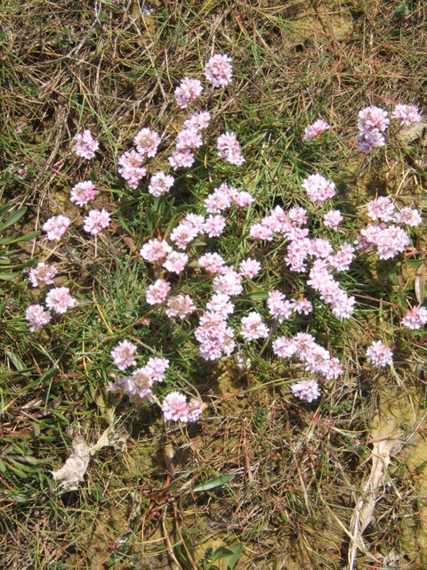 Thrift on the Causeway