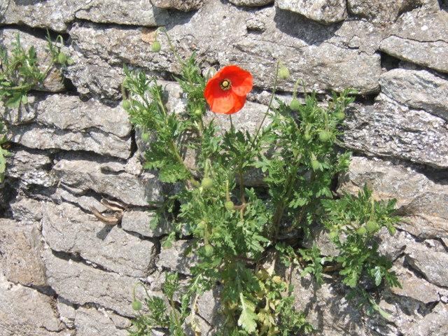 Poppy in Wall