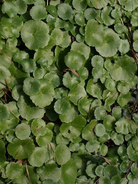 Leaves of Wall Pennywort by the coast path