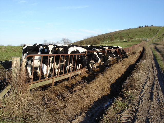 Cows on the downs above Amberley