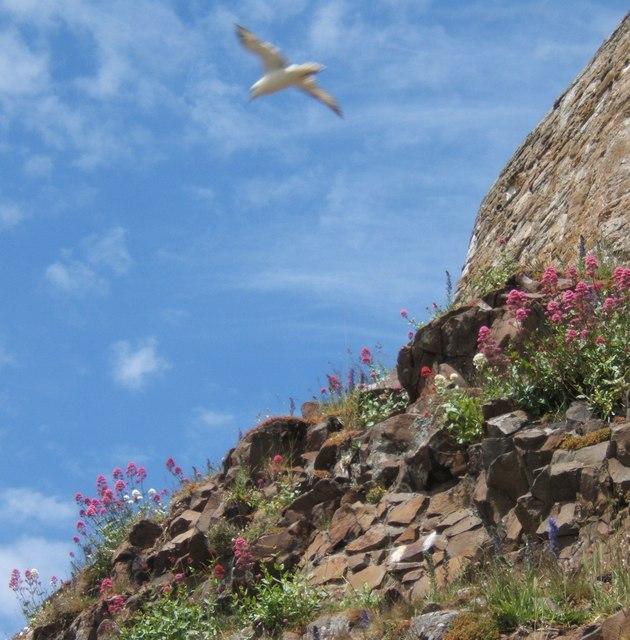 Fulmar circling its nest